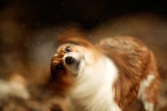 shake! (moaan) Tags: summer dog motion blur corgi bokeh kobe memory utata moment welshcorgi endlesssummer pochiko ef300mmf28lisusm memoryofsummer aftertheswimming gettyimagesjapanq1 gettyimagesjapanq2