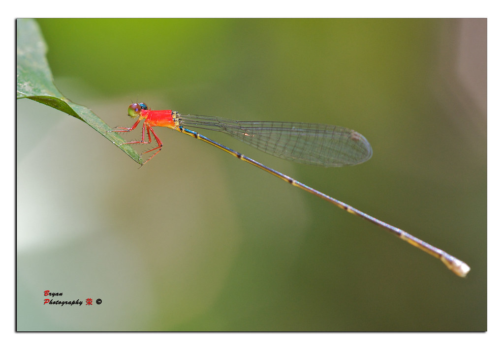 020910 Hiking - Damselfly : Will-o-wisp, Female