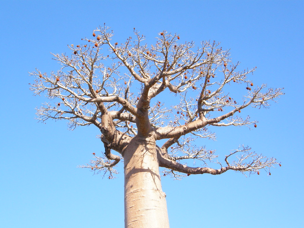 A Baobab tree with fruit