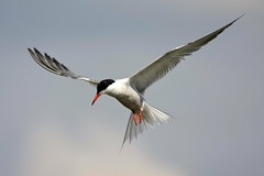 Common Tern / Visdief (martin werker) Tags: duiven commontern sternahirundo horsterpark visdief avianexcellence