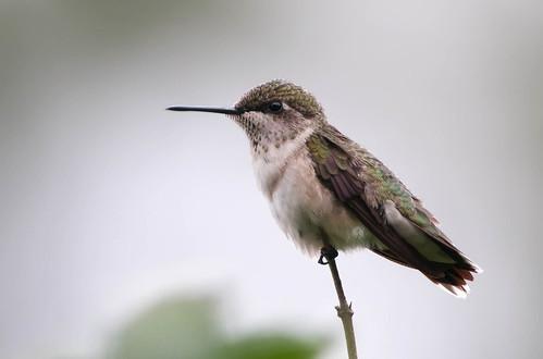 フリー写真素材, 動物, 鳥類, ハチドリ科, ノドアカハチドリ,
