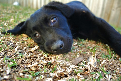 Maddie - black Labrador Retriever