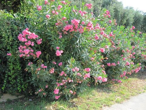 greece oleander goldenbeach pinkflowers thassos poisonousplant thasos neriumoleander chrisiammoudia