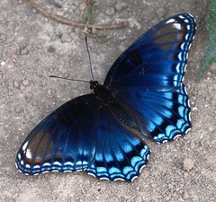 018e blue-- full look (jjjj56cp) Tags: blue nature butterfly insect ngc mygarden wow1 redspottedpurple inthewild mywinners bestofmywinners dblringexcellence aboveandbeyondlevel1 flickrstruereflection1