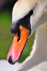 Mute Swan Portrait (C_G_Smith) Tags: portrait birds river swan nikon wildlife trent burton d90 cgsphotographycom
