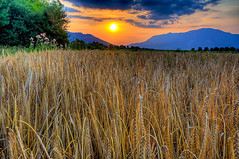 Field of wheat (Uros P.hotography) Tags: trip travel sunset tourism nature beautiful field wonderful nice fantastic nikon perfect tour superb wheat awesome harvest sigma tourist slovenia journey stunning excellent slovenija lovely incredible 1020 hdr breathtaking turism d300 turist primorska photomatix brathtaking slod300