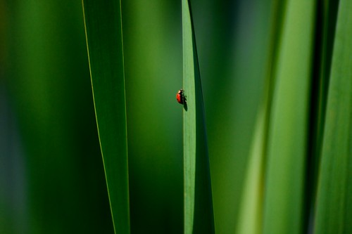 Cattails and Ladybug