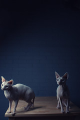 Willow Clone (dracorubio) Tags: cat table willow sphynx clone sphynxcat nakedcat