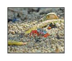 110910 - Crab Macro ( Bryan aka Numnumball ~**) Tags: life macro marine singapore flash crabs fill d90 sbr200 su800 sbr1c1 afd200microf4