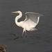 Great Egret at Forsythe National Wildlife Refuge