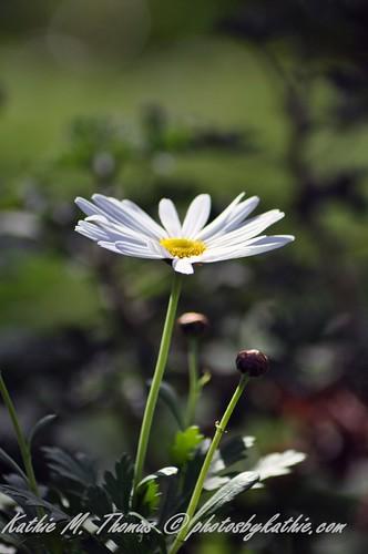White daisy in the sun