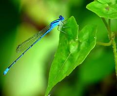 Blue Sprite