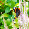 """""""The Butterfly is a Flying Flower, The Flower a Tethered Butterfly - Denis Écouchard Lebrun (antonychammond) Tags: flower leaves butterfly garden redadmiral potofgold natureplus firsttheearth buzznbugz naturallymagnificent 4tografie"""