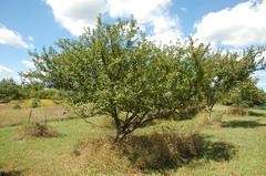 "Healthy Unsprayed Pear Tree <a style=""margin-left:10px; font-size:0.8em;"" href=""http://www.flickr.com/photos/91915217@N00/4995248702/"" target=""_blank"">@flickr</a>"