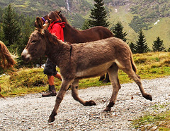 Das fliegende Eselchen - the flying donkey ~ ~ (rotraud_71) Tags: austria moving sterreich kolmsaigurn nationalparkhohetauern raurisertal runningdonkey fliegendeseselchen
