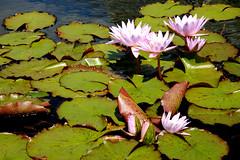 Water lilies (Lucie Maru) Tags: pink flowers summer flower color water leaf pond waterlily lily floating lilies waterlilies bloom float comopark blooming grean inbloom waterflowers pinkwaerlilies