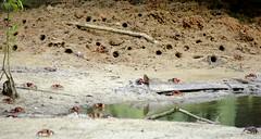 Urbanització de crancs / Crabtown (SBA73) Tags: urban animals town holidays paradise mud agujero crab pantano uca inlet marsh seychelles crabs cau cangrejos praslin cangrejo burrow burrows cranc forat crancs aiguamoll loulougrangalo