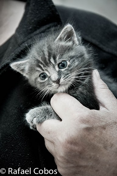 cute gray kitten rescue grey cat