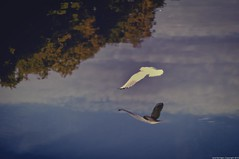 ~ flying low ~ (Janey Kay) Tags: distortion reflection water sunrise walking dawn gente action running movimiento september personas versailles bewegung movimento abstraction bp septembre active mouvement 2010 aurore aube baladematinale azione marcher courir nikkor60mm leverdusoleil parcdeversailles nikkor60mm28 janeykay momvement baladesparisiennes nikond300s