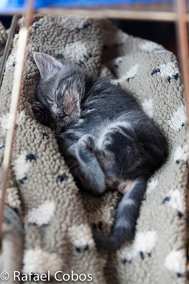 cute gray rescued kitten sleeping