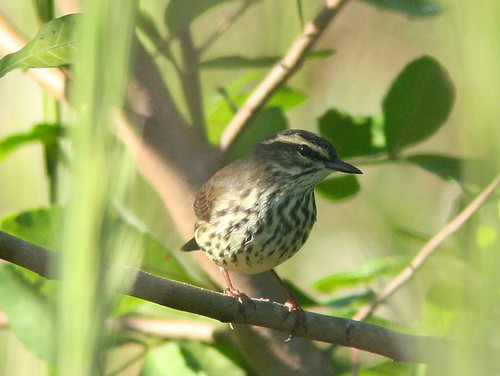 Louisiana Waterthrush 3-20100919