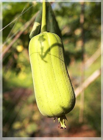 絲瓜,絲瓜水,澎湖絲瓜,稜角絲瓜,長筒種絲瓜,米管種絲瓜,絲瓜湯,精油按摩,精油spa,健康養生,馨舞極