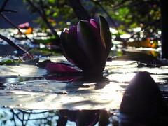 Water Lilies In The Fall (AincaArt) Tags: lake reflection switzerland waterlily spiegelung berneroberland berneseoberland seerose surfacetension oberflächenspannung moorsee mungga burgseeli canonixus80is waterliliesinthefall aincaart