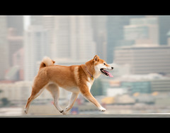 Fox Trot (kaoni701) Tags: sf sanfrancisco city dog motion blur project puppy japanese nikon action running wireless pan 365 nikkor suki shibainu panning 52 potrerohill cls 70300 shibaken 柴犬 offcamera strobist sb900 d300s 52weeksfordogs