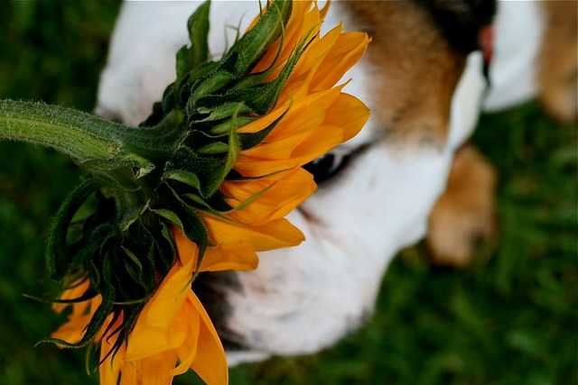smelling the sunflowers