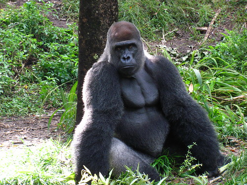 Silverback Gorilla on the Pangani Forest Exploration Trail