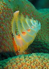 "Christmastree worm on coral (gillybooze (David)) Tags: underwater christmastreeworm specanimal ""nikonflickraward"" sunkentreasureaward naturesgreenpeace mygearandmepremium mygearandmebronze madaleundewaterimages vigilantphotographersunite vpu2 vpu3 vpu4 vpu5 vpu6 vpu7 vpu8 vpu9 vpu10"