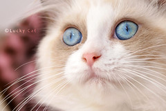 SOLD   (Lucky Cat Cattery) Tags: cats white beautiful shop wonderful point happy nice kitten sad sweet great seal himalaya blueeye bicolor    mitted