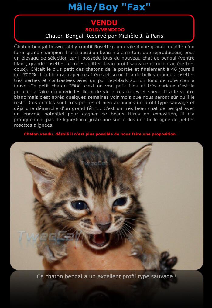 Un chaton bengal - FAX RESERVE - Un mâle type sauvage !
