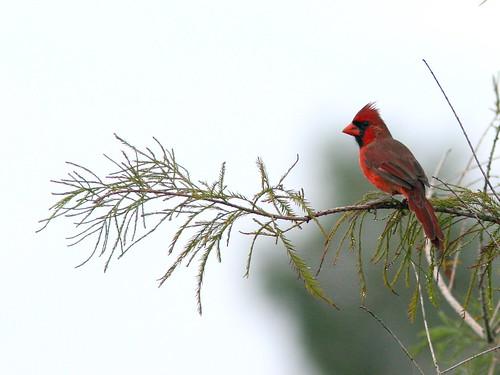 Northern Cardinal 20100925