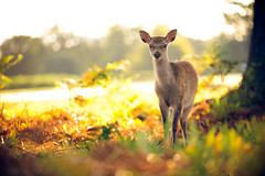 inquisitive (andrew evans.) Tags: lighting morning trees light summer england sun tree nature fairytale forest sunrise golden countryside kent woods nikon bokeh wildlife deer ethereal wonderland storybook magical 70200 f28 enchanted d3
