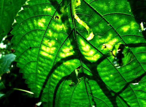 wood nettle leaf