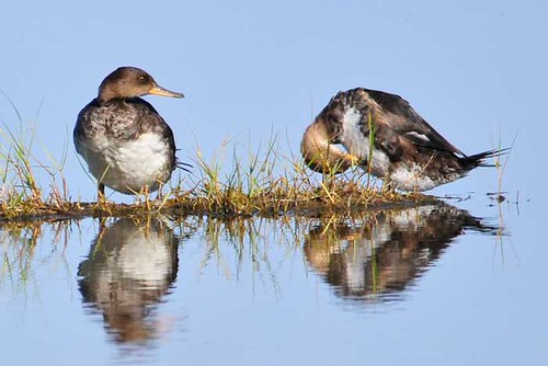 Juvi Hooded Mergansers
