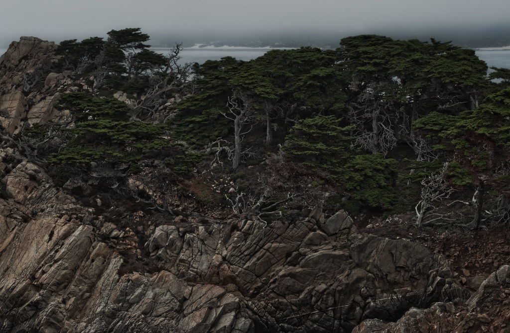 Monterey Cypress and the Marine Layer