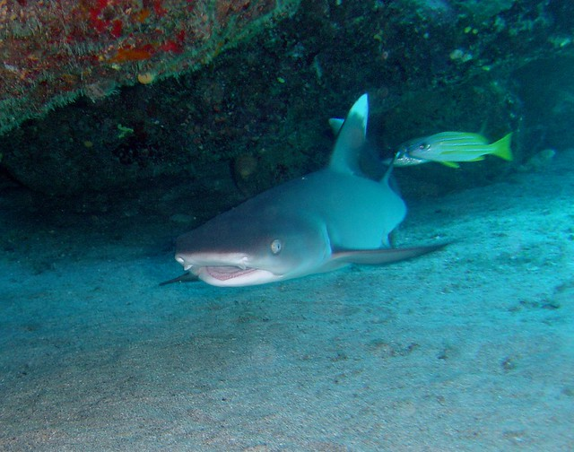 Padang Bai Diving Whitetip Reef Shark