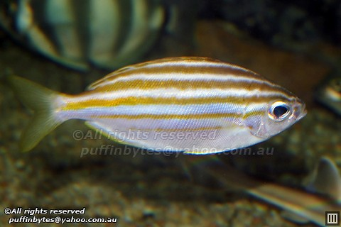 Mado - Atypichthys strigatus