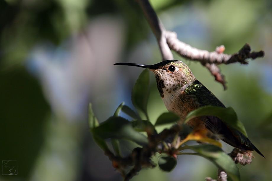 Allen's Hummingbird 09101002
