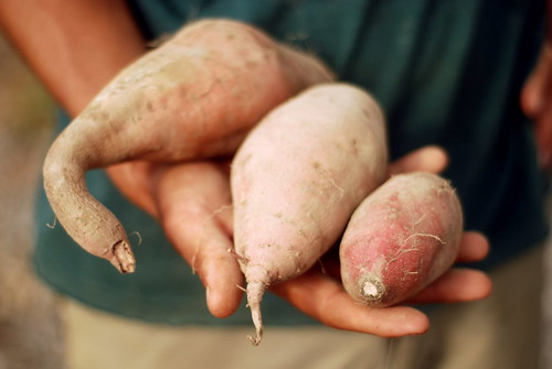 Sweet potatoes come in all shapes and sizes!