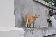 Севастопольский кот №1