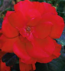 summer fading fast (pacomomma) Tags: flowers rose garden carmichael masterphotos nikond80 pse7
