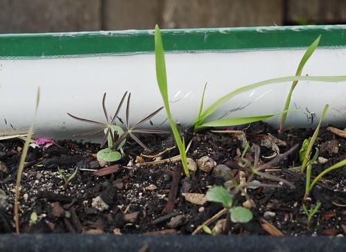 Green Manure - fava beans are cute!