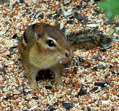 Yeah, You Caught Me. (rich66 ~~) Tags: animal rodent birdseed critter chipmunk cheeks chipper chippy