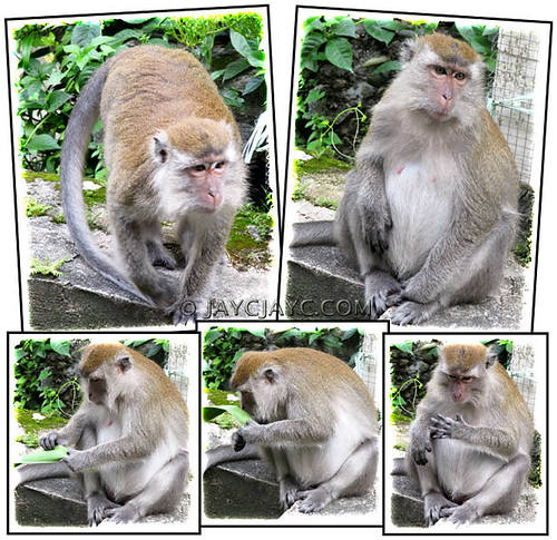 Collage of Jungle Monkey: curious and funny!
