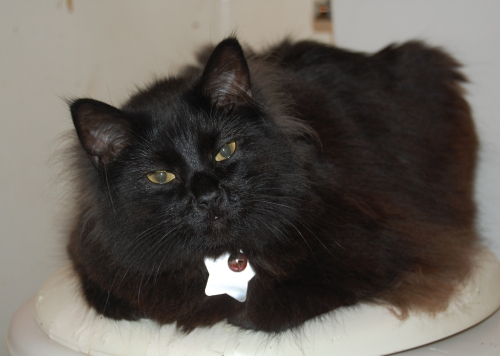cute black cat fluffy