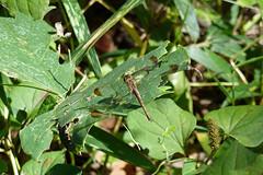 三保市民の森のノシメトンボ