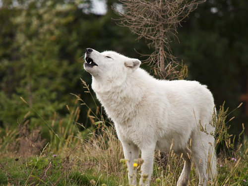 Arctic Wolf, howling